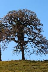 IMG_6160 (JoanZoniga) Tags: old pink flowers tree canon arbol photography costarica blossoms sunny atenas oldtree potrero fotografia sunnyday blooming tabebuia saveearth tabebuiarosea efs55250mm atenascostarica canoneoskissx7 robledelasabana jczuniga