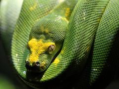 Green Tree Python (Eddie C3) Tags: bronxzoo snakes reptiles zoos greentreepython reptilehouse wildlifeconservationsociety moreliaviridis