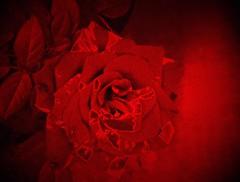 like a red red rose (Renee Rendler-Kaplan) Tags: red flower rose blossom vibrant may indoors bloom aviary inside consumerist iphone chicagoist 2016 chicagoreader likearedredrose reneerendlerkaplan