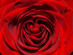 Red Rose (The Vegan Taff Photography) Tags: flowers roses flower macro texture love rose flora redrose romance