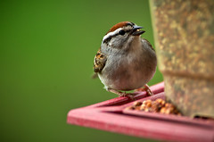 ChippingSparrow (dawkfan) Tags: wild food bird nature outside seed feeder josh eat wv sparrow bennett chipping