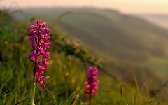 IMG_2205 (Mal Grey) Tags: sunset orchids southdowns devilsdyke truleighhill