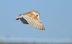 Barn owl (malcolm5959) Tags: