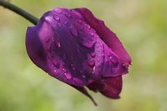 La tulipe mauve aprs la pluie (jjcordier) Tags: fleur violet pluie mauve goutte tulipe