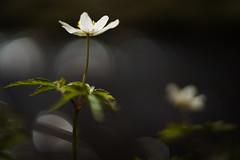 Dancing in the dark (Helena Normark) Tags: norway norge srtrndelag a7 voigtlnder anemonenemorosa windflower hvitveis vitsippa woodanemone heimdal nokton5015 cv5015 nokton50mmf15 sonyalpha7