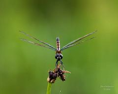 Dragonflies -23 (jimlustgarten) Tags: dragonflies lustgarten
