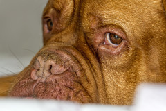 IMG_5301 (Kev Gregory (General)) Tags: benson dogue de bordeaux french mastiff kev gregory dog pet snooze bed