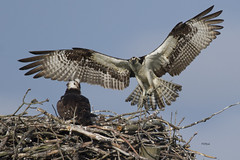 Osprey..6/14/16 (turtlehawk) Tags: nature wildlife bethany delaware osprey bethanybeach bluecoast 060416