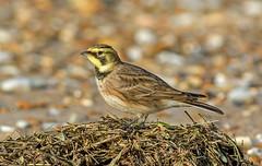 JWL7500  Shore Lark.... (jefflack Wildlife&Nature) Tags: nature birds countryside wildlife ngc avian shorebirds larks wildbirds hornedlark shorelark coastalbirds