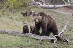 Joy & Sorrow (Hank Halsey) Tags: yellowstonenationalpark yellowstone cubs grizzlybear hhdx6774cr2 hankhalseyphotographyllc