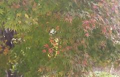 Autumn (Snuva) Tags: autumn japanesemaple