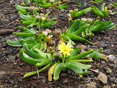 Glottiphylum semicylindricum