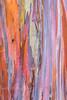 rainbow trees (PIERRE LECLERC PHOTO) Tags: travel love nature happy hawaii rainbow colorful colours joy happiness bark kauai rainbowtree rainboweucalyptus canon6d pierreleclercphotography