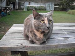Josie's Booked in for Radioactive Iodine Treatment (Matilda&Charlie&Josie ~ MCJ) Tags: cat josie rescuecat hyperthyroidism 9yo greybluecreamtortoiseshell