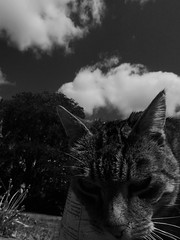 Cookie (chicitoloco) Tags: cats cat cookie gato kater elgato
