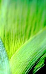 Trifolium (mikkelfrimerrasmussen) Tags: green leaves copenhagen garden botanical have stalk kbenhavn botanisk trifolium