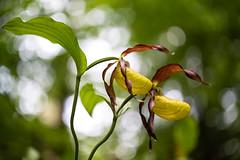 Frauenschuh (Gr@vity) Tags: flower macro zeiss dof bokeh sony jena orchidee frauenschuh prakticar a7s