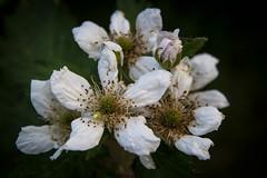 Blackberry (Larry Senalik) Tags: white flower canon spider illinois blackberry dslr t3i 2016