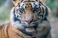 Damai   - The Other Dauther of Guntur (Harimau Kayu (AKA Sumatra-Tiger)) Tags: usa animal japan gardens sisters cat asian zoo cub dc washington feline peace tiger dream daughters dell camouflage beast nationalzoo soy yokohama tijger carnivorous tigris tigre tigerstripes thunder bigcats damai sumatran carnivore soyono zoological  predetor zoorasia mimpi guntur flesheating sumatratiger tygr tiikeri thetemptation  pantheratigrissumatrae sumatraansetijger asiancat sumatrantigercub tigredesumatra gunchan  thesmithsoniannationalzoologicalpark harimausumatera sumatrakaplan tygrsumatersk tygryssumatrzaski  szumtraitigris       hsumatra guntursdaughters