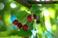 Cherrys (lordspark80) Tags: cherry fruit minolta rokkor fuji fujifilm 58mm bokeh pornbokeh bokehporn fullaperture