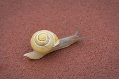 Mobile Home (Adam Curran) Tags: new saint animal john outdoors outdoor critter shell snail brunswick newbrunswick nikkor saintjohn nbphoto nikond3300 d3300