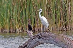 Great Egret, Neotropic Comorant (1krispy1) Tags: greategret egrets comorants texasbirds neotropiccomorant