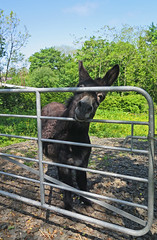 Hey There! (Katie_Russell) Tags: ireland donkey northernireland ni ulster nireland norniron coleraine countylondonderry countyderry coderry colondonderry colderry loughan countylderry