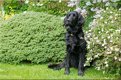 By the Lilacs (Missy2004) Tags: garden missy cropping flatcoatedretriever explored studio26 assignment11 nikkorafs50mmfi4g