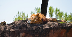 Lion AK (Timfy Mills) Tags: animal lion kingdom disney safari serengeti nikon28300mm nikond610