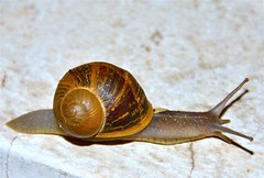 Caracol de jardn (Helix aspersa). (eustoquio.molina) Tags: helix aspersa caracol jardn snail animal macrofotografa macro photography macrophotography naturaleza biologa nature biology