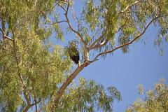 DSC_0208 (Gritsgal Photo's) Tags: bald eagles baldeagles