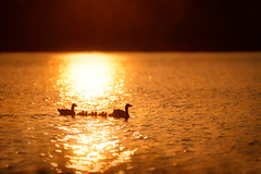 'We Are Family' (Jonathan Casey) Tags: sunset geese norfolk goose goslings f2 vr broads 200mm greylag whitlingham d810