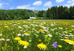Das groe Blhen (Mariandl48) Tags: austria wiese blumen wald steiermark weg blumenwiese margeriten glockenblumen wenigzell sommersgut