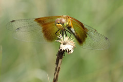 Band-winged Meadowhawk (speech path girl) Tags: bandwingedmeadowhawk sympetrumsemicinctum dragonfly insect