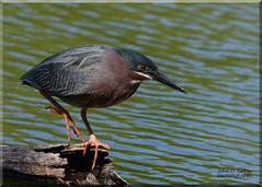 Green Heron (Explored) (Windows to Nature) Tags: explore
