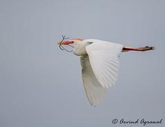 Cattle Egret - IMG_7105 (arvind agrawal) Tags: heron melbourne egret cattleegret vierawetlands