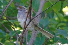 White-throated Sparrow (smkeereweer) Tags: canada novascotia whitethroatedsparrow zonotrichiaalbicollis