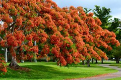 Boughs of Flamboyan Flowers (bmasdeu) Tags: poinciana bows flowers flamboyan tropical royal red tree nature landscape
