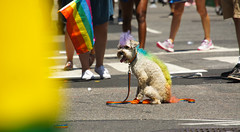 Rainbow dog (EC Stainsby) Tags: street nyc newyorkcity summer usa ny newyork fun outdoor colorfull pride parade east lgbt avenue fifth thirtieth colourfull sunnny