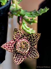 Toad Cactus - Stapelia variegata (Orbea variegata) (Sharad Medhavi) Tags: cactus flower color macro beautiful toad orbeavariegata stapeliavariegata canoneos5dmarkiii canonef100mmf28lisusmmacrolens rottensmell