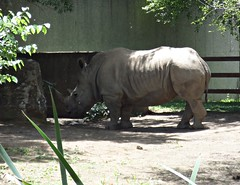 Rinoceros (Theophilus Photography) Tags: louisvillezoo zoo wildanimals cage vacation trip rhino rhinoceros