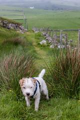 Torr Head (ghostwheel_in_shadow) Tags: ireland dog fence mammal europe unitedkingdom terrier jackrussell northernireland ulster vertebrate antrim wiggo torrhead parsonrussell architecturalelement architectureandstructures
