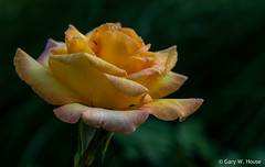 Brookside Gardens_July 2016 - 4 (gwh.photography) Tags: rose morningdew brooksidegardens