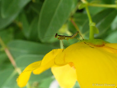 Mantis (Shiori Hosomi) Tags: flowers plants june japan tokyo insects  hypericum  2016       clusiaceae  mantodea mantidae   theales   23  entomon