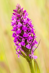 Southern Marsh Orchid (lee adcock) Tags: orchid flower nature naturereserve pottericcarr southernmarshorchid yorkshirewildlifetrust nikon105 nikond7200