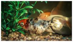 Pez (Damian Garnero) Tags: fish pez agua goldfish acuario