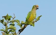 Peach-fronted Parakeet (Aratinga aurea) (berniedup) Tags: parakeet pantanal poconé aratingaaurea transpantaneira peachfrontedparakeet taxonomy:binomial=aratingaaurea