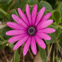Purple flower (Darkhorse Winterwolf) Tags: cruise carnival plant flower nature purple malta vista purpleflower rabat maidenvoyage irrabat carnivalvista