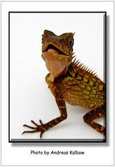 Acanthosaura bitangensis (1) (Vogelfoto69) Tags: acanthosaura bitangensis nackenstachler terrarium brse holland houten echse jungtier grn rot stacheln terraristik herpethologie dinosaurier lebend lebender malaysischer malaysia asien borneo
