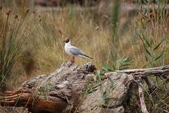 Black-headed gull (taylor_pj) Tags: bird ave albufera